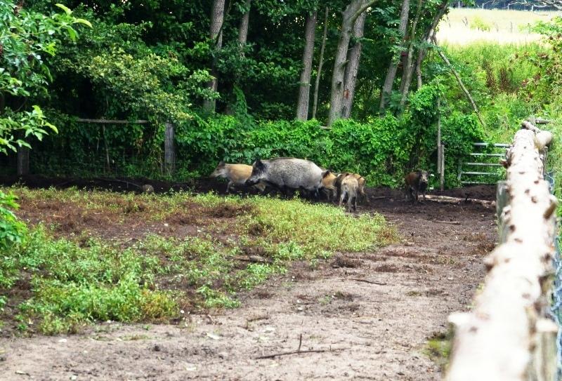 Wildschweine im Bisonpark Krügersdorf